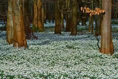 Welford Snowdrops Sunny Side Up! (paulinuk99999 - tripods are for wimps :)) Tags: paulinuk99999 snowdrops welford park berkshire flower winter white monks monastry carl zeiss 135mm sal135f18za