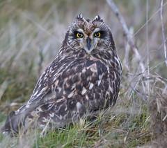 Short-Eared Owl (sharp shooter2011) Tags: shortearedowl owl raptor avianphotography birdphotography naturephotography birdinginthewild stanwoodwashington 1000mm wildlifephotography canon birdsofprey