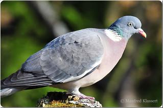 © • Wood Pigeon • Ringeltaube •