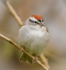 Chipping Sparrow. (tresed47) Tags: 2017 201703mar 20170328chestercountymisc birds canon7d chestercounty chippingsparrow content folder home pennsylvania peterscamera petersphotos places sparrow takenby us ngc