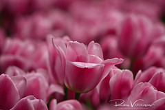 PINK (royvenegas) Tags: flower pink nature blossom delicate precious fresh georgeous beautiful bella hermosa