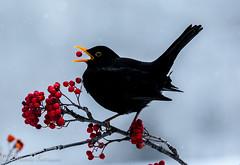 mirlo con baya F (barragan1941) Tags: aves cremenes fauna mirlo pajaros