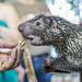 Rothschild's porcupine Gamboa Wildlife Rescue pandemonio 2017 - 12
