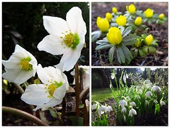 Frühling (ekeha) Tags: christrosen winterlinge schneeglöckchen frühling
