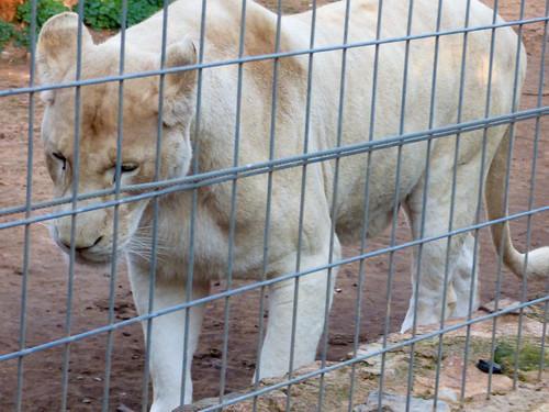 Paphos Zoo - white lion (3)
