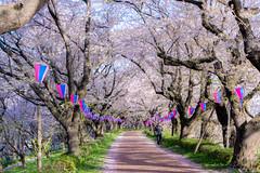 _DSC4455 (sayo-tsu) Tags: sakura cherryblossom saitama gongendopark sattecity 桜 お花見 権現堂 埼玉県