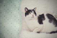 365 (Rafi Moreno) Tags: rafi cat gato gatos mascotas pet pets felino canon oreo pale soft animales retro vintage proyecto365fotos 365proyect