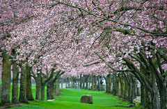 Cherry Blossom Trees Along the Waterfront (Orbmiser) Tags: 55200vr d90 nikon oregon portland spring cherryblossoms trees park waterfrontpark willametteriver