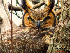 Great Horned Owl (Anton Shomali - Thank you for over 900K views) Tags: great horned owl greathornedowl bird big bigbird large eyes ears horns tree nest eggs bradley illinois us usa america wild nose powerful predator hungry female aggressive prominent eartufts nature