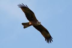 _F0A7263.jpg (Kico Lopez) Tags: galicia lugo milanonegro milvusmigrans miño spain aves birds rio