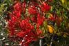 Tristerix corymbosus (L.) Kuijt. (Quintral) (Carlos Ivovic O.) Tags: florachilena santuarionaturalyerbaloca floranativadechile plantasmedicinaleschilenas plantasparásitas quintral loranthaceae