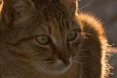 If it moves...I'll attack! (Anthony P26) Tags: animalsbirdsinsects cat category erdek places travel turkey wildlife streetcat canon canon70d tamron70300 outdoor backlit evening sunhalo fur soft feline rimlight closeup streetphotography