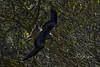 nibbio reale (Tonpiga) Tags: tonpiga uccelliinlibertà faunaselvatica rapace predatore nibbioreale milvusmilvus