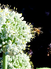 Honey Bee Foraging On Allium Flowers - Edible Passover White Onions