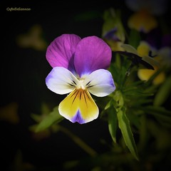 Pensiero (lefotodiannae) Tags: lefotodiannae fiore viola del pensiero flower natura colore degli innamorati fiori