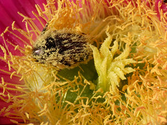 Pollenpig (treegrow) Tags: spain lifeonearth nature canonpowershotsx40hs arthropoda insect beetle coleoptera raynoxdcr250 oxythyreafunesta taxonomy:binomial=oxythyreafunesta scarabaeidae