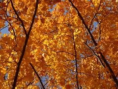 Wheaton, IL, Herrick Lake Forest Preserve, Yellow and Orange Maple Leaves (Mary Warren (8.2+ Million Views)) Tags: wheatonil herricklakeforestpreserve nature flora fall leaves foliage tree yellow orange maple