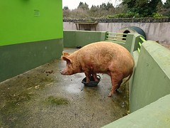 Pig in a bucket [explored] (Christine Schmitt) Tags: 52in2017 pig bucket belfast zoo schwein eimer explored explore cheesy42