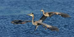 GBHChase2 (2) (Rich Mayer Photography) Tags: animal animals bird birds avian great blue heron herons fly flight flying nature water lake river wild life wildlife nikon