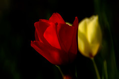 Tulip : チューリップ (Dakiny) Tags: 2017 spring march japan kanagawa yokohama aoba ichigao outdoor nature field park plant tree flower tulip bokeh nikon d7000 tamron 70300mm sp70300mmf456divcusd a005 modela005 nikonclubit