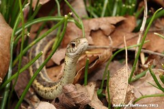 Thamnophis sirtalis (Eastern Gartersnake) (indianaherp) Tags: heritage nature garter animal outdoors photography education reptile snake wildlife indiana andrew trail madison environment eastern biology hoffman gartersnake thamnophis colubridae sirtalis serpentes squamata natricine