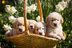 Golden Puppies034 (kdc123) Tags: flowers dog cute puppy golden spring 5 fluffy retriever weeks