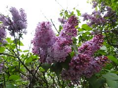 DSC06313  Lilacs (Sam T (samm4mrox)) Tags: flowers macro spring flora purple blossoms