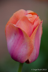 Single Tulip (Michigan Transplant) Tags: pink macro spring peach rosa tulip bulbs makro frhling tulpe 18300mm nikond5100