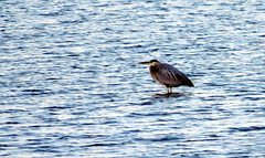 Shoreline_5-19-13_8547 (barbara.vance) Tags: bird greatblueheron