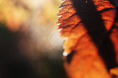 Leaves 011 (Ethan Sztuhar) Tags: red sun blur leaves closeup focus warm close bokeh sony a33 alpha