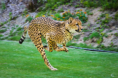 Cheetah Run (Bartfett) Tags: show park cat zoo big kitten feline san track coat tiger tail kitty diego running run safari spots leopard cheetah felidae