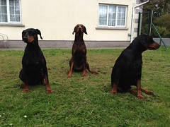 Three Alert Dobermanns. (firehouse.ie) Tags: dog dogs dolce zeus doberman dobie pinscher gabbana dobermann dobies dobermans pinschers dobermanns