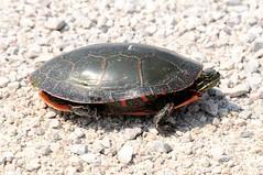 2013 Painted Turtle 2 (DrLensCap) Tags: road robert animal wisconsin turtle painted wildlife amphibian national wi kramer dike refuge horicon mayville