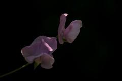 Touched by sunlight (haberlea) Tags: pink black flower green nature blackbackground garden sweetpea mygarden onblack
