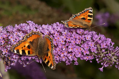 "Two Small Tortoiseshell Butterflies • <a style=""font-size:0.8em;"" href=""http://www.flickr.com/photos/57024565@N00/9609441326/"" target=""_blank"">View on Flickr</a>"