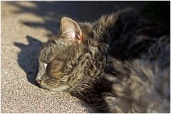 Sleeping Shadow (FocusPocus Photography) Tags: sleeping shadow cat feline chat kitty gato katze schatten kater fynn schlft longhaired langhaarkatze fynnegan