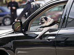 4999 Pug Elite (eyepiphany) Tags: dog pug canine mansbestfriend kingoftheroad drivingdog roadhog blackandbrown lapofluxury pugstud pugdriver pugking elitepug teachyourdogtodrive handsomepug