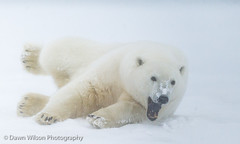 Polar_bear_3 (DawnWilsonPhotography) Tags: bear white snow cold color nature animal alaska mammal wildlife yawn ground stretch arctic polarbear environment predator stretching northslope ursusmaritimus kaktovik barterisland lookingright greatnature arcticnationalwildliferefuge
