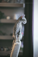 Richard_2576 (keesoonee) Tags: baby house cute fall love home nature beautiful animals cat canon fun photography zoo photo kitten chat europe day photos russia moscow portait kitty meow oriental osh cattery canon50mm12 canoneos5dmarkiii