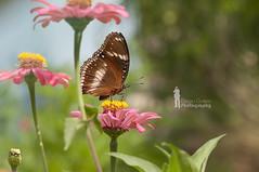 Borneon Brush-footed butterfly (Ringgo Gomez) Tags: macroextreme macrolicious nikond90 malaysianphotographers elitephotography macromarvels macrolife perfectphotographers sarawakborneo nikond90club corcordians mygearandme