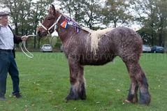 DSC_6698 (Ton van der Weerden) Tags: horses horse dutch de cheval belgian nederlands belges draft chevaux belgisch trait trekpaard trekpaarden ckcentralekeuringsintoedenrodesuusvandelindehoef