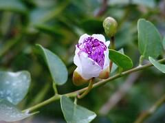 Flower Bud Macro (Beth Atkinson Photography) Tags: flower macro up closeup close bud