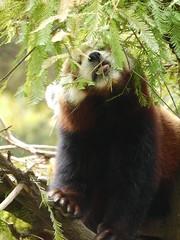 Red Panda レッサーパンダ (lulun & kame) Tags: newyorkcity usa newyork animal america manhattan 動物 locations マンハッタン ニューヨーク州 アメリカ合衆国 ニューヨーク市 アメリカ大陸 lumixgvario45150f4056