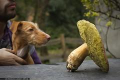 Boletus Perrulis. (jongoikoh) Tags: life autumn portrait dog plant flower mushroom big natura perro galicia galiza otoño seta boletus baso basoa malbicho edulis lur udazkena galizia onddo txakur perretxiko ziza udazken zakur malbi lurcifer perrulis
