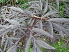 Sambucus nigra (Mad Maia) Tags: unchanged