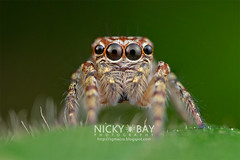 Jumping Spider (Salticidae) - ESC_0365 (nickybay) Tags: macro spider jumping singapore salticidae upperpeircereservoir