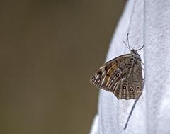 / Lattice Brown / Kirinia roxelana (katunchik) Tags: nature butterfly natur bulgaria priroda schmetterling bulgarie  bulgarien nymphalidae bulharsko  primorsko