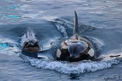 Wikie & her baby (Cassandre.M) Tags: new baby france born killer whales orca calf bb antibes marineland wiki orque epaulard