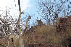 Leopard (Panthera pardus) (piazzi1969) Tags: africa cats leopard mammals namibia bigcats okonjima pantherapardus