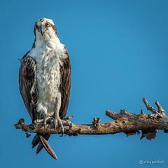 Stately (craig goettsch) Tags: bird nature nikon florida wildlife sanibelisland osprey dingdarlingnationalwildliferefuge d7100 nikkor8004000mmf4556vrii